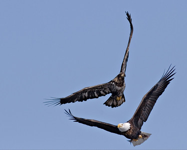 Juvi Bald Eagle chasing an adult trying to score a free meal. Burlington Iowa.